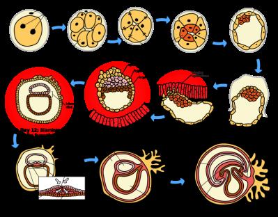Tahapan awal embriogenesis pada manusia